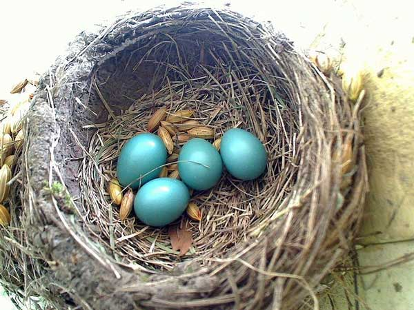 Figure 6.59: Robin eggs and nest. Image from URL: http://en.wikipedia.org/wiki/File:Animaldetectorrobineggs.jpg