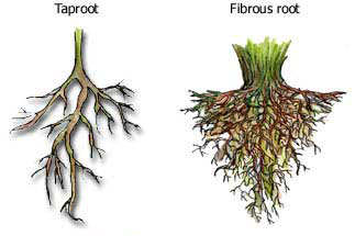 Figure 7.17: Plant root systems: the taproot system and the fibrous root system. Image from URL: http://depssa.ignou.ac.in/wiki/index.php