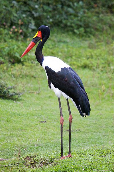 Figure 6.12: Saddle-billed Stork. Image from URL: http://en.wikipedia.org/wiki/File:Ephippiorhynchus