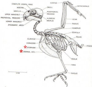 Figure 6.36: The image above illustrates the parts of the bird skeleton. Image from URL: http://feistyhome.phpwebhosting.com/anatomy.htm