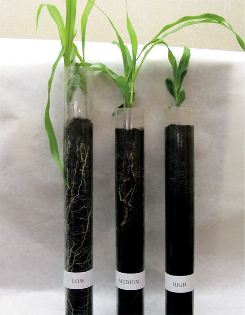 Figure 9.5: Effect of soil compaction on root growth at three different soil bulk densities: Low, 0.7 g/cm3; Medium, 1.1 g/cm3; High, 1.6 g/cm3 (Stephanie Nelson, Honors Program project). Image from URL: http://www.ipm.iastate.edu/ipm/icm/2005/5-9-2005/soilmoist.html