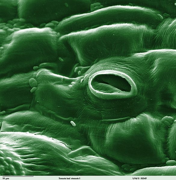 Figure 7.11: Stoma in a tomato leaf shown via colorized scanning electron microscope image. Image from URL: http://en.wikipedia.org/wiki/File:Tomato_leaf_stomate_1-color.jpg