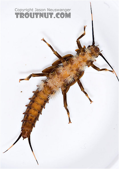 Figure 8.9: Underside of stonefly larva. Note the gills between the legs and on the first few segments of the abdomen. Image from URL: http://www.troutnut.com/specimen/688