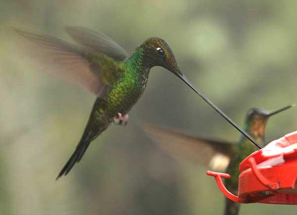 Figure 6.4: Sword-billed Hummingbird. Image from URL: http://en.wikipedia.org/wiki/File:Sword-billed_Hummingbird_(Ensifera_ensifera).jpg
