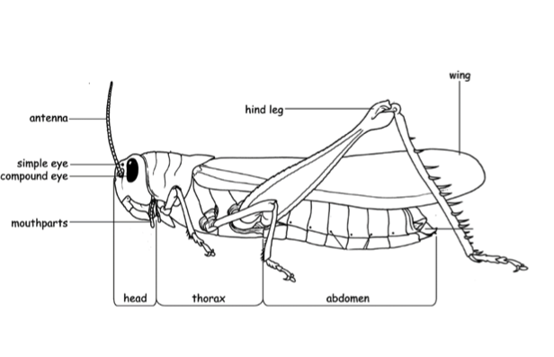 Figure 8.1: Insect body plan including head, thorax and abdomen and appendages like legs and wings.