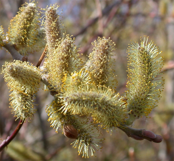Figure 7.47: Willow catkins, which are typically wind-pollinated. Image from URL: http://sepulvedabasinwildlife.org/trees.html