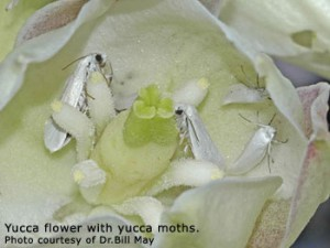 Figure 7.57: Yucca flower with yucca moths. Image from URL: http://www.fs.fed.us/wildflowers/, Author: Dr. Bill May
