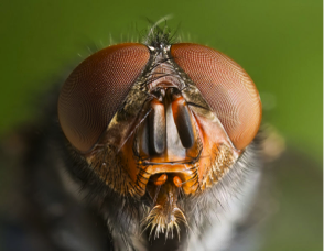 Figure 8.44: The large compound eyes of Calliphora vomitoria. Note the small cells in the eye, the ommatidia.