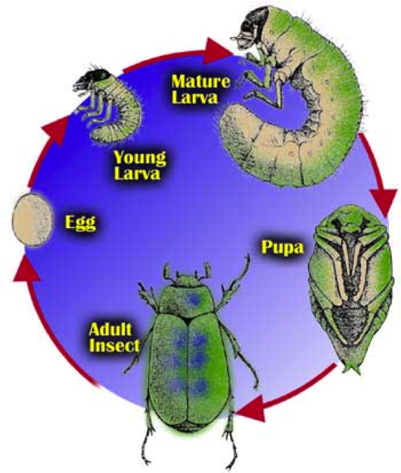 Figure 8.15: A life cycle of a beetle. Notice how difficult it would be to identify the larva as an insect!