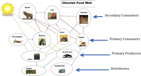 Figure 8.19: Grasshoppers are very important in this food web. Notice that the connections at the top of the food web might make one consider that the lion could even be considered a fourth trophic level!
