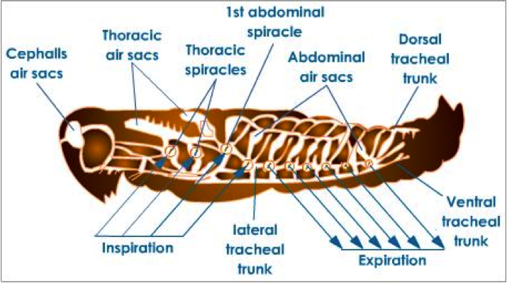 Figure 8.6: The tracheal system of insects.