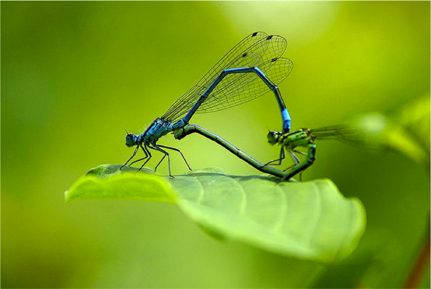 Figure 8.12: Damselflies construct a ring while mating. The bright blue damselfly is the male and the green damselfly is the female.