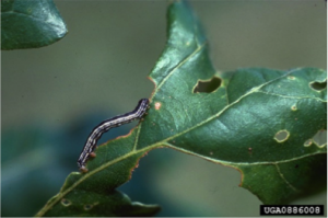 Figure 8.16: A butterfly larvae feeding on a leaf.