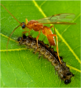 Figure 8.17: A brachonid wasp laying eggs on a gypsy moth caterpillar.
