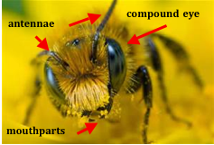 Figure 8.3: The head of a honey bee. Notice the little yellow balls near the mouthparts. Can you guess what they are?