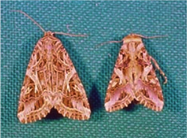 Figure 8.7: In tobacco cutworm moths the male (right) is smaller than the female (left), but similarly colored.