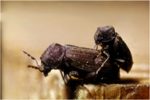 Figure 8.8: In this wood boring beetle pair, the male is smaller than the female but similar in color.