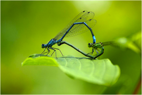 Figure 8.9: In this damselfly pair the male is bright blue, while the female is light green.