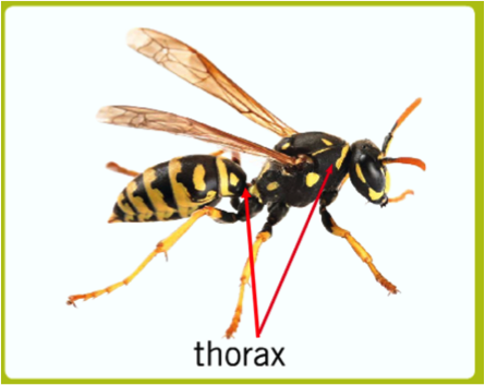 Figure 8.4: The thorax with its attached wings and legs, as clearly separated from the abdomen, is readily visible in this illustration of a wasp.