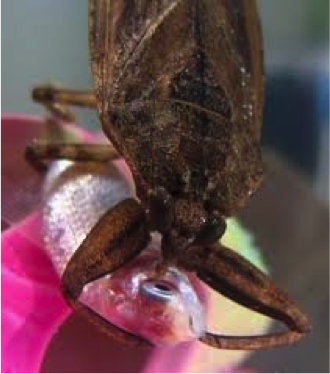 "Figure 8.24: Aquatic insect that is a true bug and also known as the ""toe biter."" It pierces its prey and sucks out the contents. Shown here eating a fish! Image from Rhithron Associates."