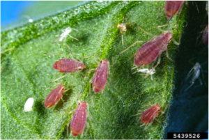 Figure 8.27: Aphids feeding on the underside of a leaf.