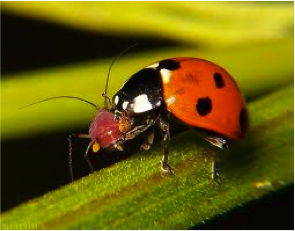 Figure 8.28: A ladybird beetle feeding on an aphid.
