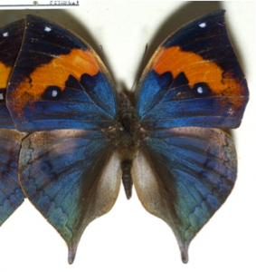 Figure 8.29: The dead leaf butterfly (Kallima inachus) with wings open.