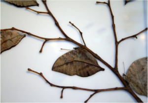 Figure 8.30: The dead leaf butterfly hanging on a twig with wings folded.