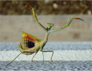 "Figure 32: The mantis, Iris oratoria, in threat pose. ""Gottesanbeterin Abwehr"" by CaPro - licensed under CC BY-SA 3.0 via Wikimedia Commons: http://commons.wikimedia.org/wiki/File:Gottesanbeterin_Abwehr.JPG#mediaviewer/File:Gottesanbeterin_Abwehr.JPG"