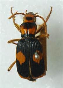 Figure 8.38: The bombardier beetle, Pheropsophus verticalis.