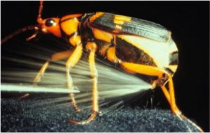 Figure 8.39: A bombardier beetle releasing a noxious chemical spray.