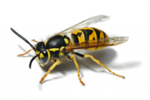 Figure 8.41: Yellow jacket wasp.