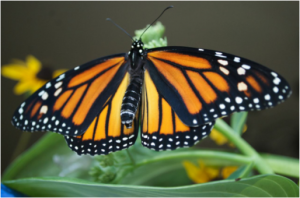 Figure 8.42: Monarch butterfly.