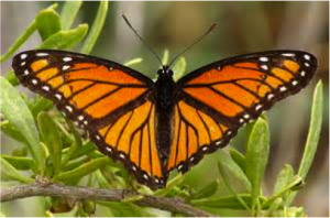 Figure 8.43: Viceroy butterfly.