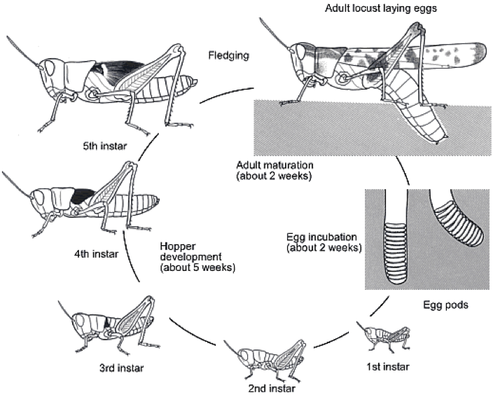 Figure 8.13: Locust life cycle. Notice there are 5 larval instars and the larva and wing pads (shown as dark patches on the thorax) get bigger after every molt.