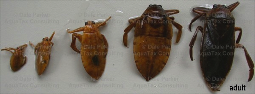 Figure 8.14: The 4 instars and the adult of the giant water bug. Image from URL: http://upload.wikimedia.org/wikipedia/commons/a/a9/Third_beach_sand.jpg